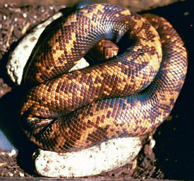 Calabar burrowing python with clutch of eggs - 1999